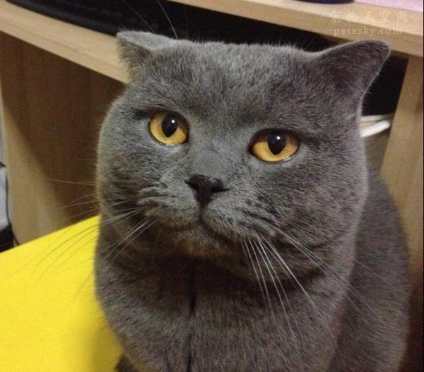 英國短毛貓的養護、訓練方法和技巧