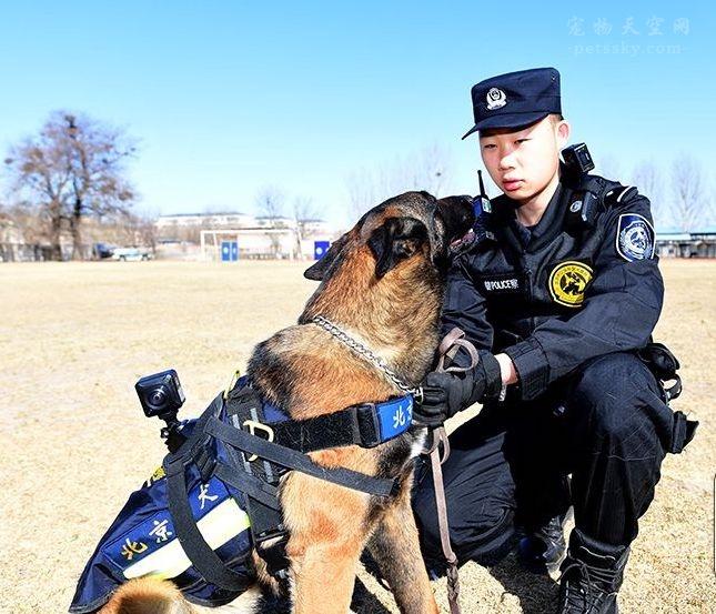 为什么不用哈士奇当警犬?