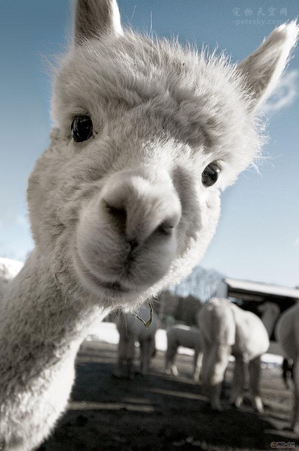 羊驼的繁育和选种技巧 羊驼的繁殖能力