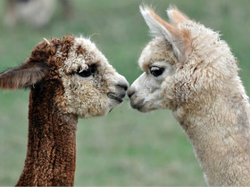 给羊驼剪毛要注意的问题 一定不要剪湿毛