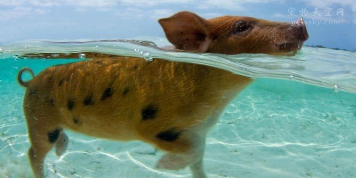 """巴哈马的""""游泳小猪""""不幸溺亡 因游客喂食酒精食物"""