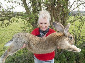 美联航再惹麻烦:名贵巨兔托运途中死亡,本有望成世界最大兔