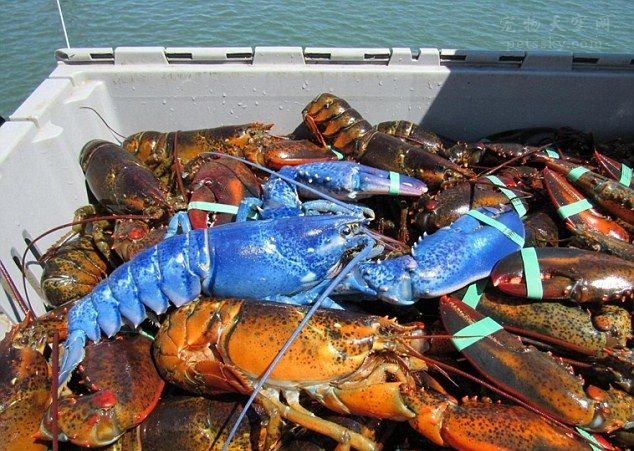 美国渔民捕获一只罕见蓝色龙虾 可能是基因变异结果