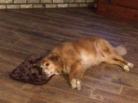 """女主人为狗狗买的垫子小了点 狗狗却善意地假装""""非常合适"""""""