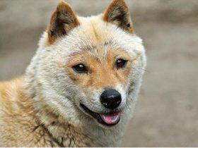 """超稀有的""""山阴柴犬""""真的很可爱:长得既像美猴王又像山羊"""