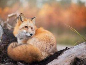 高冷的狐狸进了这个妹子的家,一人三汪的幸福生活