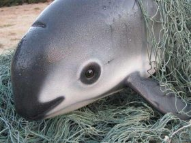 """""""海中熊猫""""加州湾鼠海豚只剩30只,也许明年将永远消失"""