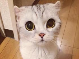 超萌小猫咪,铲屎官们都被它的大眼萌坏了