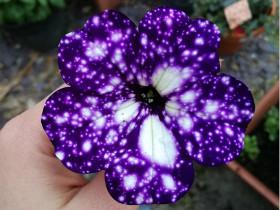 见过这种深紫色的牵牛花吗?在花瓣上仿佛可以看到夜晚的星空
