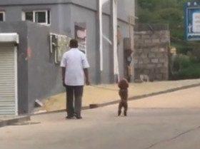 家门口遇到了一只喜欢直立行走的泰迪,它好像很开心