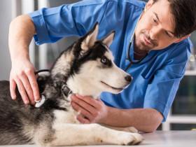 曾被受虐待的哈士奇在被救助后,成为了一只萌萌的治愈犬