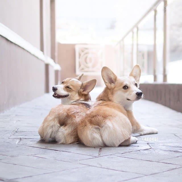 那些家里同时养两只柯基犬的人,每天都能被狗子们逗乐!