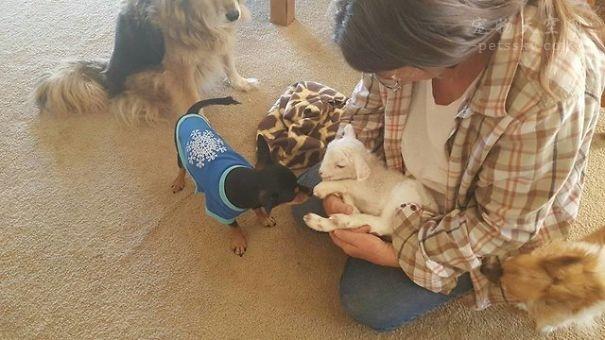 吉娃娃Paddy与小羊羔Lily的友谊故事
