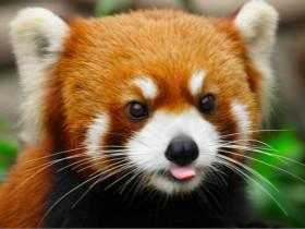 小熊猫和大熊猫是两种不同的动物:小熊猫也叫红熊猫