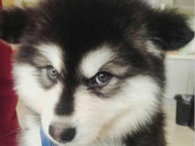 阿拉斯加犬小时候的样子,又萌又可爱,像个球一样!