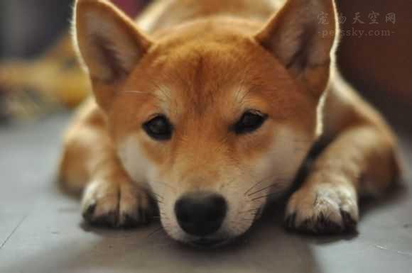 教你快速区分柴犬和秋田犬