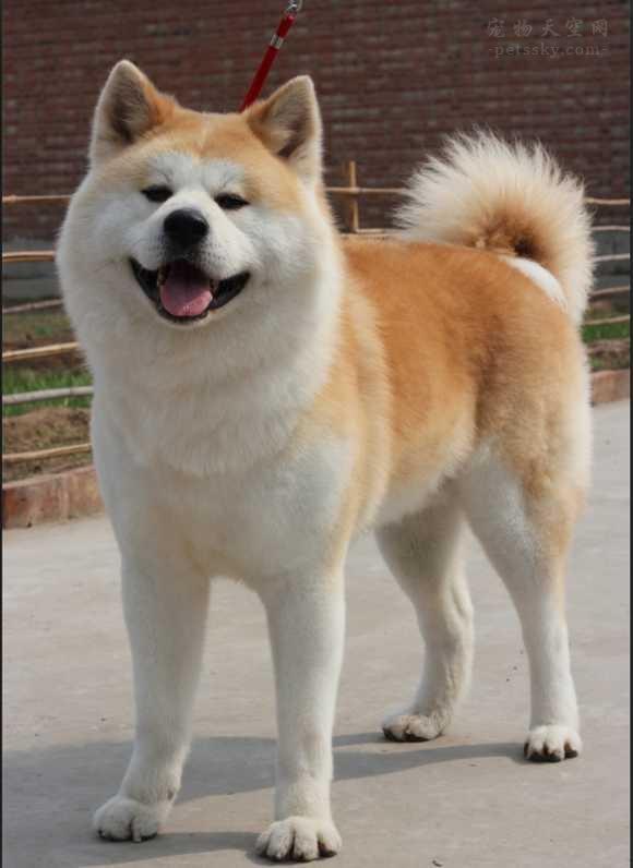 柴犬和秋田犬的区别是什么?