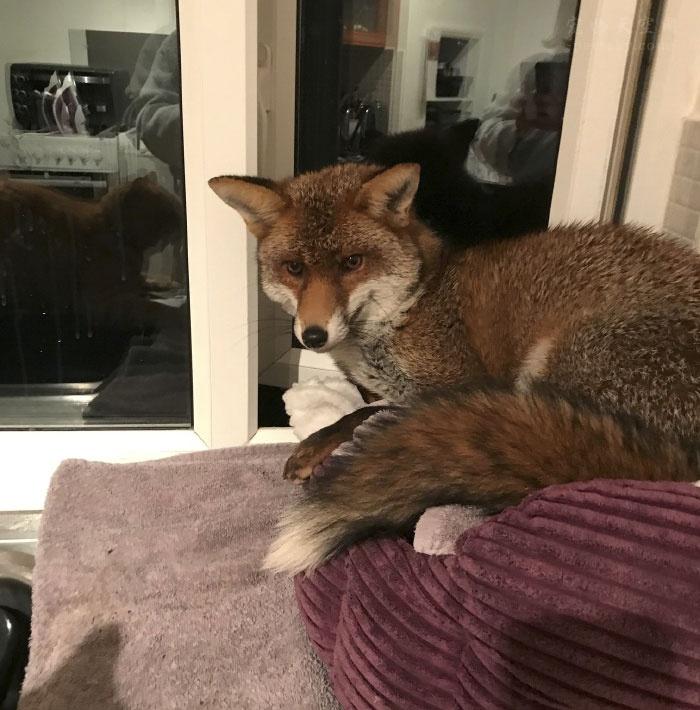 猫咪半夜出去玩耍,回家后,发现床被一只狐狸霸占了
