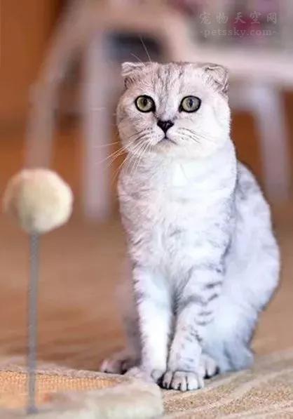 为什么不推荐养折耳猫?养折耳猫有什么后顾之忧?