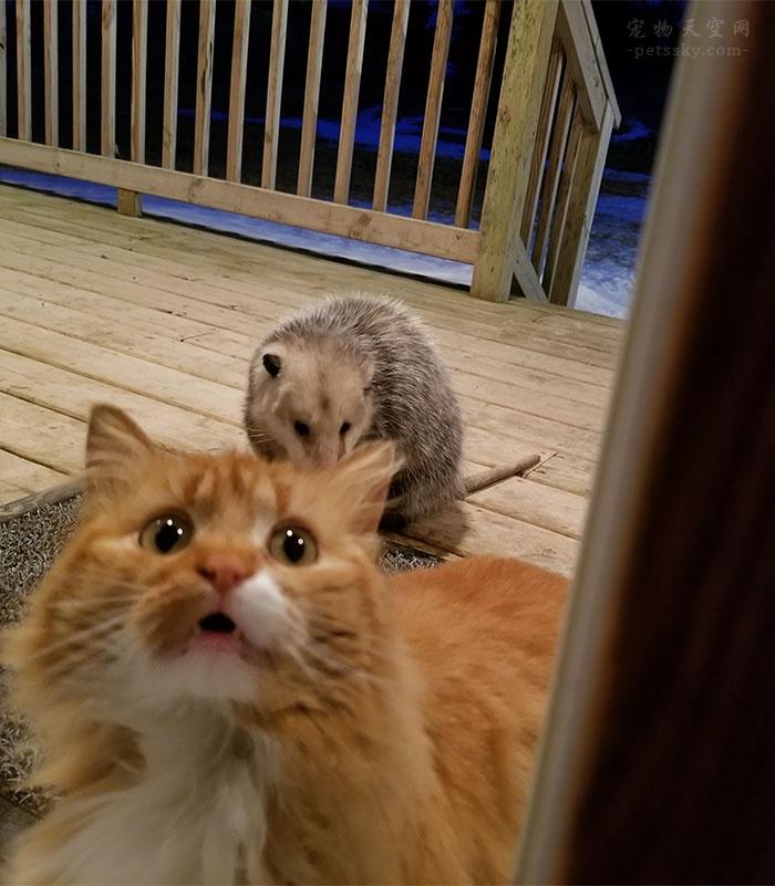 一只负鼠抢走了猫咪的食物,猫咪的表情令人心疼