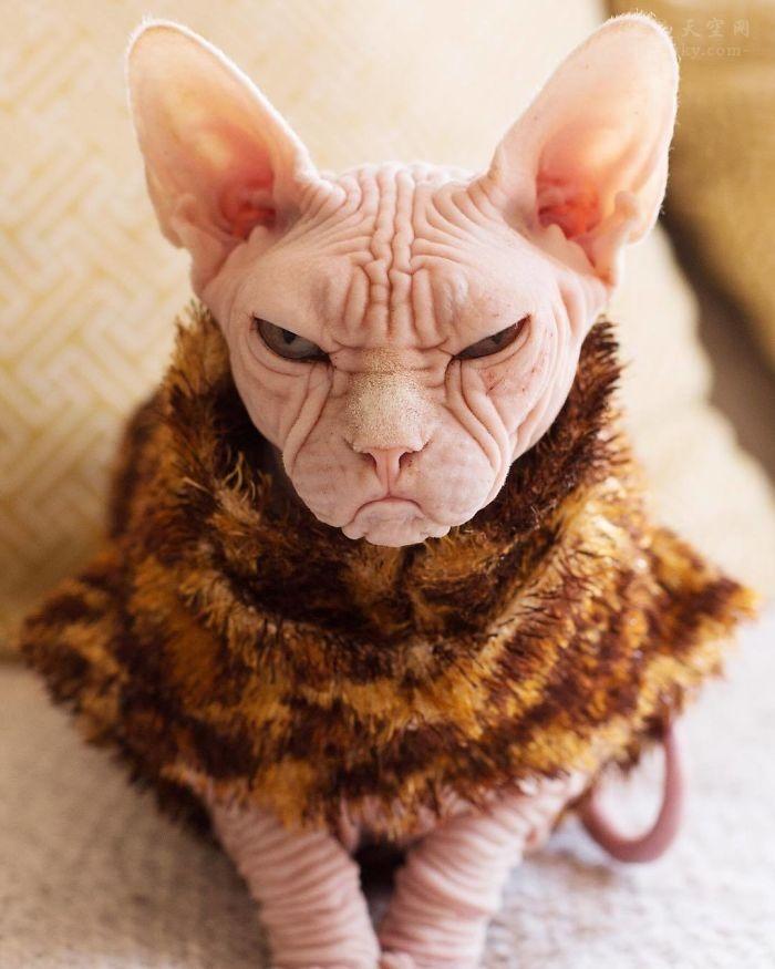 """靠着自己""""不爽""""的面部表情,斯芬克斯猫Loki在网络上走红"""