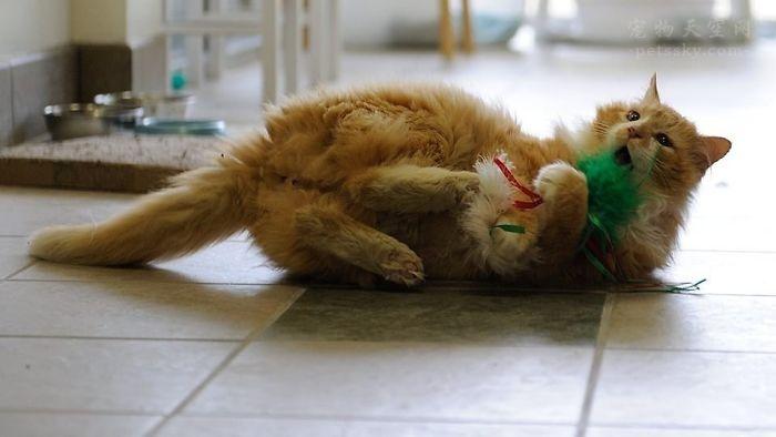 猫咪步行了19公里回到主人的身边,主人却准备将它安乐死