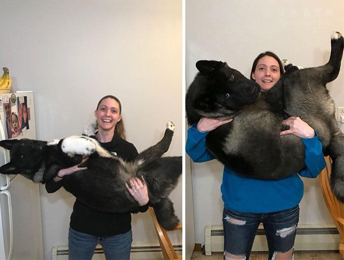 情侣每个月都为一条小柴犬拍照片,记录了它长大的惊人变化