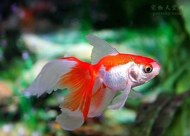 chatu 金鱼 fish
