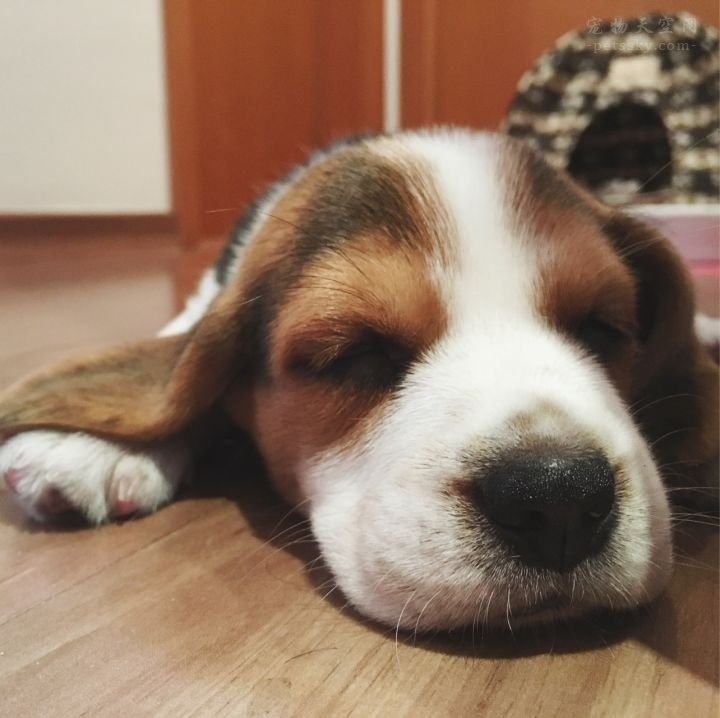 养一只比格犬是一种怎样的体验?