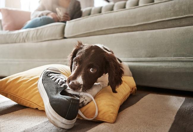 狗狗喜欢叼主人的鞋子,或者藏鞋子,铲屎官们是否懂这种行为?