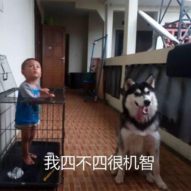 让二哈在家里照顾孩子,主人回家一看,有种想揍狗的冲动
