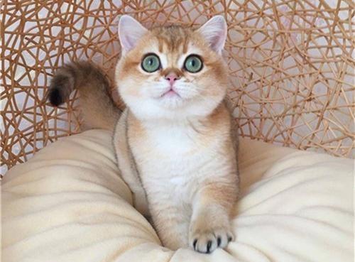 """金渐层是什么猫咪?为什么被很多人称为""""土豪金""""?"""