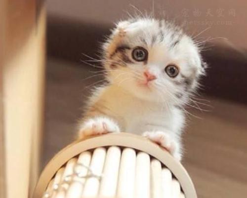 银渐层猫多少钱一只?如何选择准银渐层纯种猫