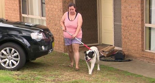 澳一只斗牛犬咬伤小男孩,被警察带走,可能会被处死