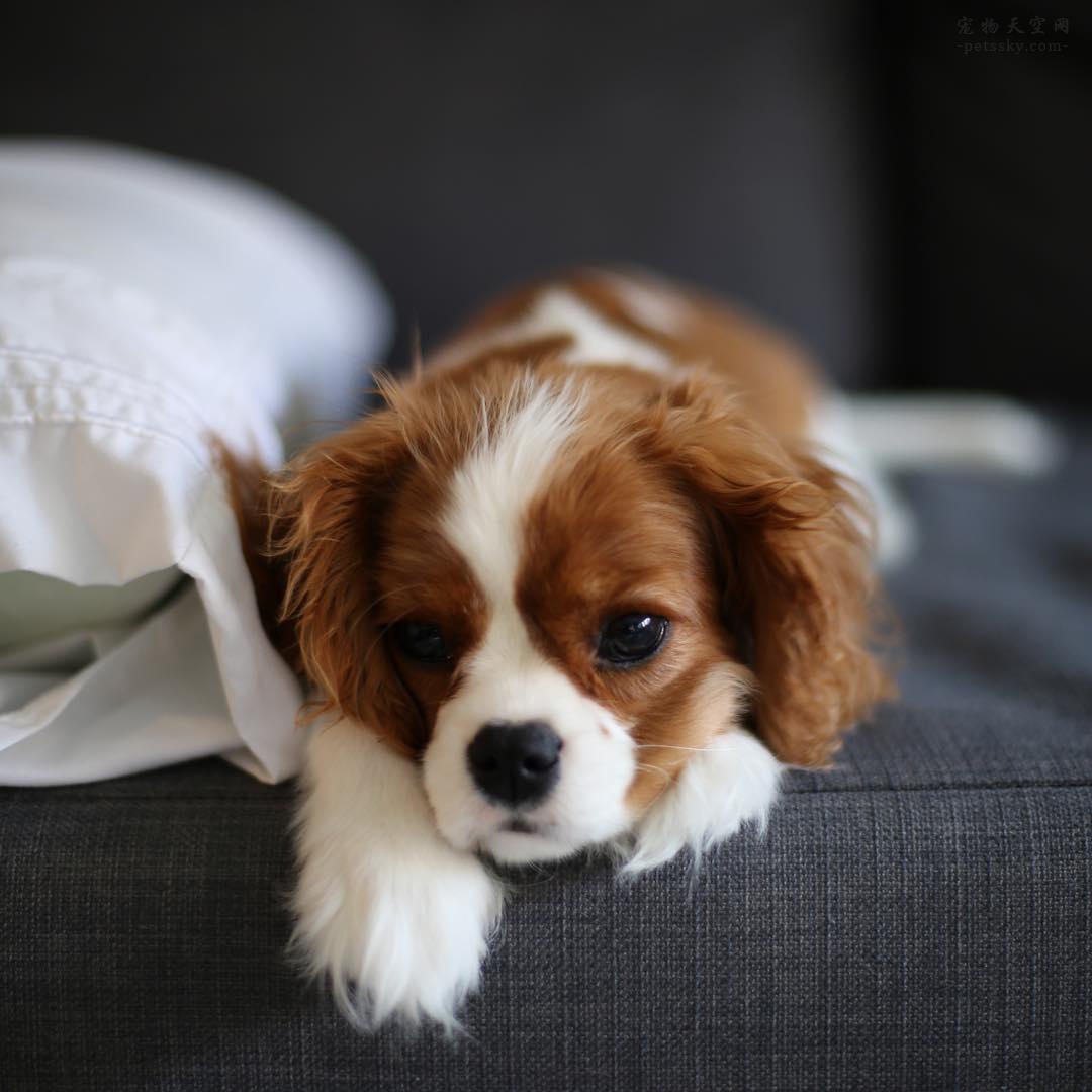 分享一些漂亮的可卡犬照片,有没有你喜欢的一张?