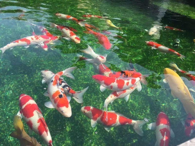 """有那么多的观赏鱼,锦鲤为什么这么""""贵""""?"""