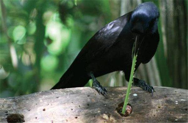 乌鸦还可以这样用,法国公园训练6只乌鸦,捡游客丢弃的垃圾