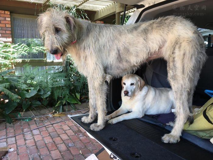 体型巨大的爱尔兰猎狼犬(13张)