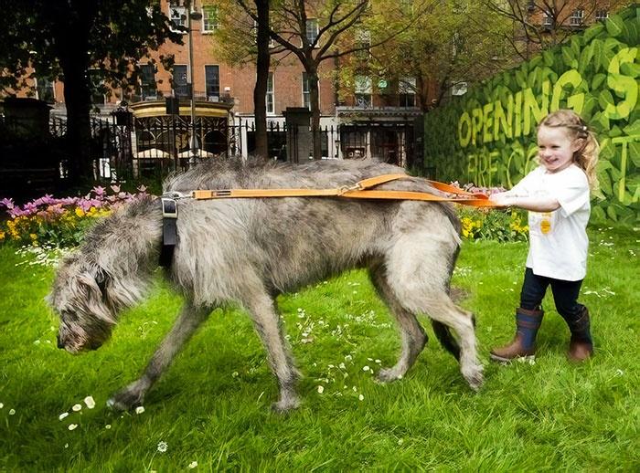 继续分享一些爱尔兰猎狼犬的照片,小心被它们的体型给惊到!