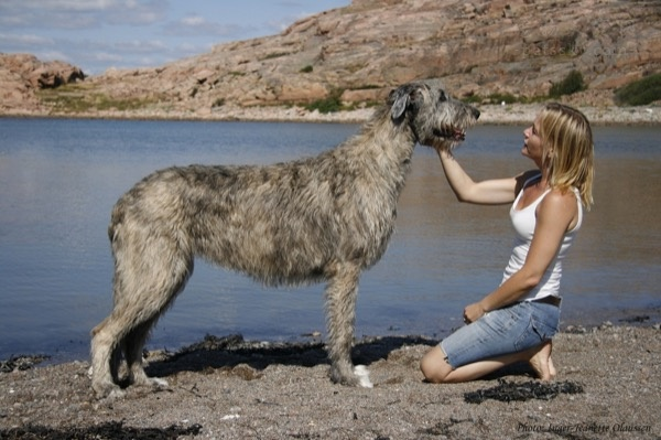 听说过爱尔兰猎狼犬吗?这种狗狗的体型可能会超乎你的想象