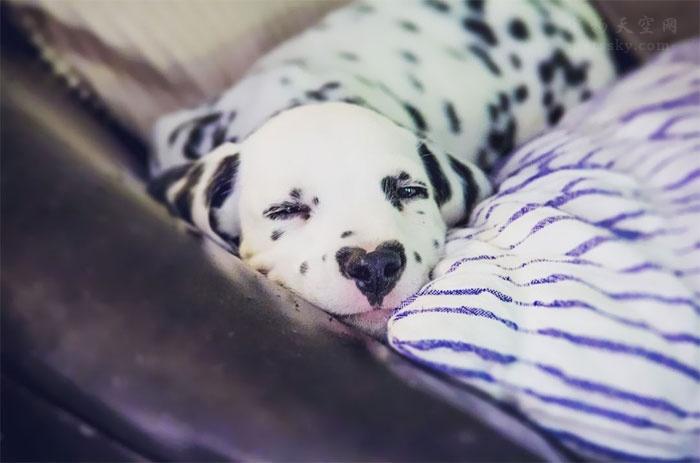 """这是一条与众不同的斑点狗,在它的鼻子上,有一颗""""心"""""""