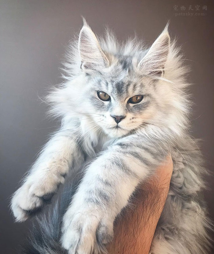 缅因猫小时候的样子,快来看看这些可爱的照片吧!(20张)
