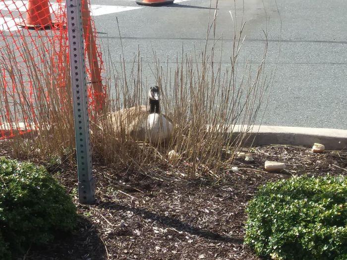 有一只鹅妈妈在停车场里安窝下蛋,保安做了让人想不到的事情