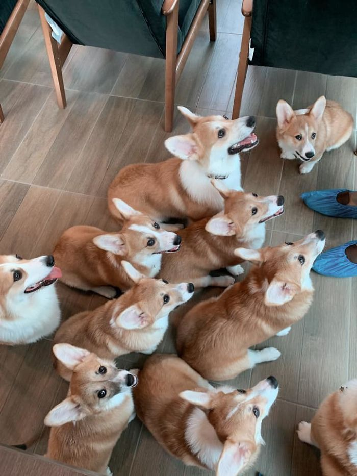 这家咖啡厅里有15只可爱的柯基犬,游客边喝咖啡边撸狗(15张)