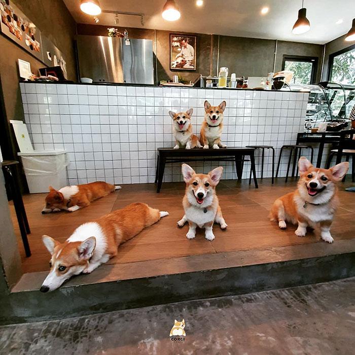 泰国的柯基犬咖啡厅(15张)