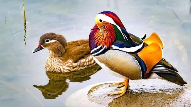 去杭州西湖旅游的人,请放过那些小鸳鸯,很多已经死在游客手中