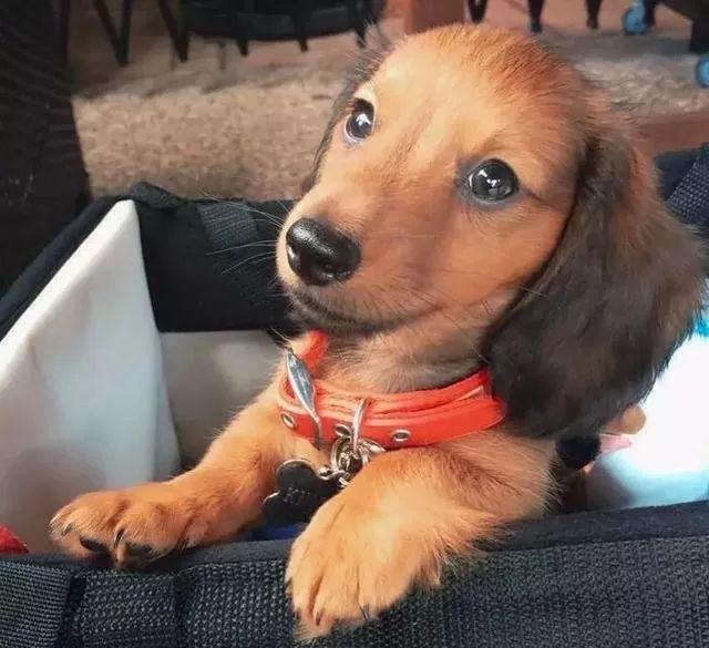 """身为一只小腊肠犬,这货却被誉为""""袋鼠杀手"""""""