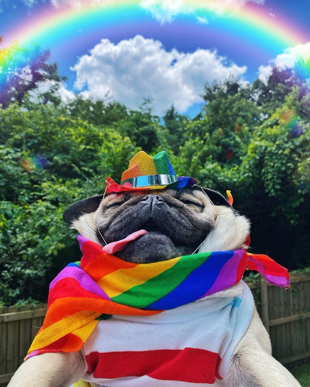 巴哥犬Doug的幸福生活