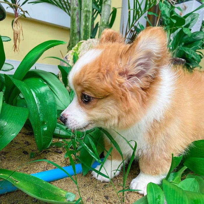 这只5个月大的小柯基犬,有没有萌到你?(17张)