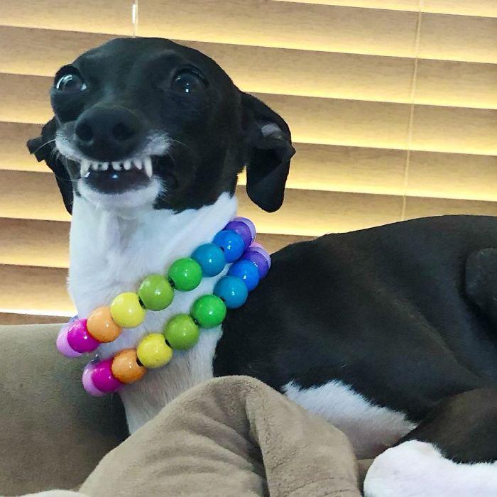 当灵缇犬优雅起来的时候,仔细一看,有点贵族气派(13张)